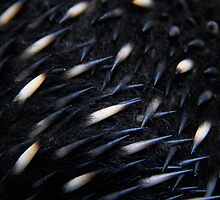 Echidna Spikes by Emma Holmes