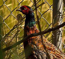 Summer Ring Neck Pheasant by CormacEby
