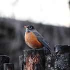 The First Spring Robin by CormacEby