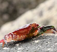 Crab Shell on the Rocks by CormacEby