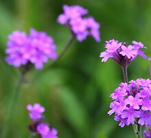 Wild purple flowers by blackchairphoto