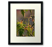 Tomato Blossoms Framed Print