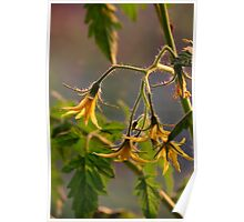 Tomato Blossoms Poster