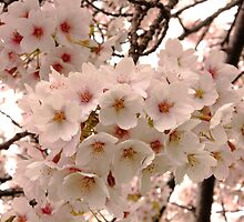 When Cherry Trees Bloom by CormacEby