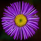 Wild Purple Aster by CormacEby