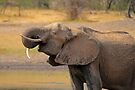 Wonky tooth by Explorations Africa Dan MacKenzie