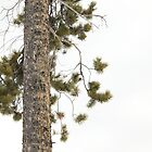 Winter Mountain Pine Tree by CormacEby