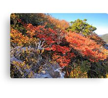 Fagus Update from Mount Campbell Canvas Print