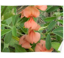 Beautiful This Year! - Scarlet Pea Poster