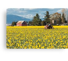 Skagit Valley Daffodil Fields Canvas Print
