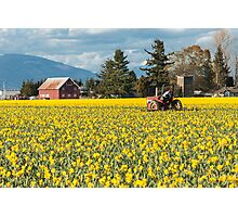 Skagit Valley Daffodil Fields Photographic Print
