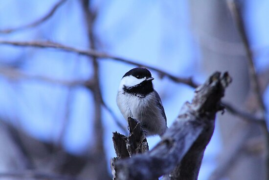 Blue Chickadee by Alyce Taylor