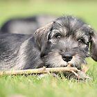 Schnauzer puppy by JanaBehr