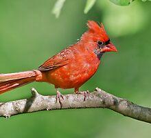 Northern Male Cardinal by Briar Richard