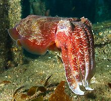 Adelaide Giant Cuttlefish 15-4-12 by Matt-Dowse