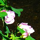 Wild Rose Medley by Christine Ford
