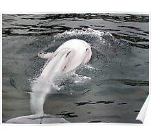 Beluga Splash, Mystic, Connecticut Poster