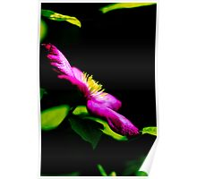 Clematis In Morning Sun Poster