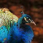 """""""Pretty Boy"""" - Peacock by Sea-Change"""