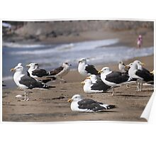 seagulls in papudo Poster
