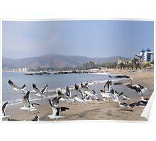 Seagulls at Papudo Poster