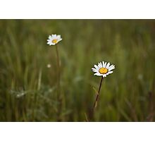 Two daisies Photographic Print