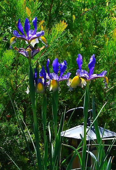 Tall Irises by Ron Hannah