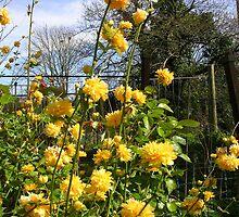 Kerria Japonica by lezvee