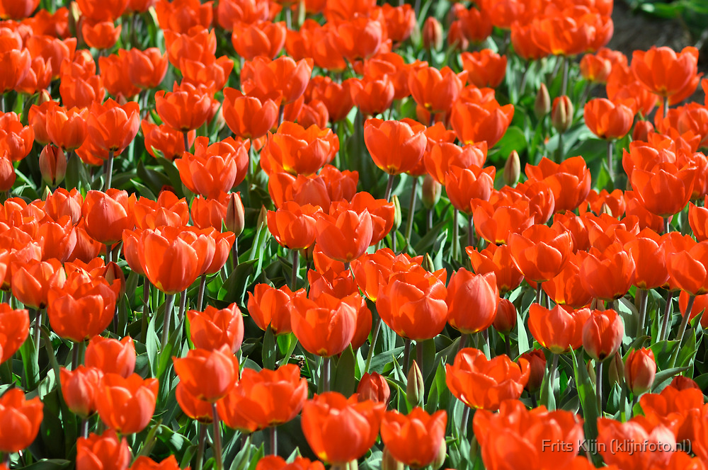 Field of red tulips by Frits Klijn (klijnfoto.nl)