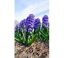 Hyacinth Photographic Print