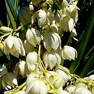 Yucca filamentosa (Adams Needle) by Irene  van Vuuren