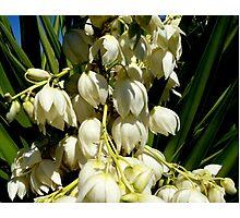 Yucca filamentosa (Adams Needle) Photographic Print