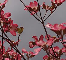 Glorious Dogwoods by vigor