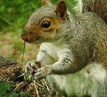 Grey Squirrel by AlvinBurt