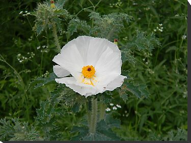 White Prickly Poppy by Navigator