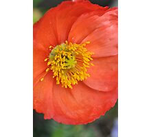 Hot Poppy Photographic Print
