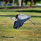 Blue Heron In Flight by Eddie Yerkish