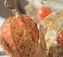 Chinese Lantern Plant 3 by Ken Glotfelty
