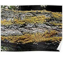 Yellow striped tree bark Poster