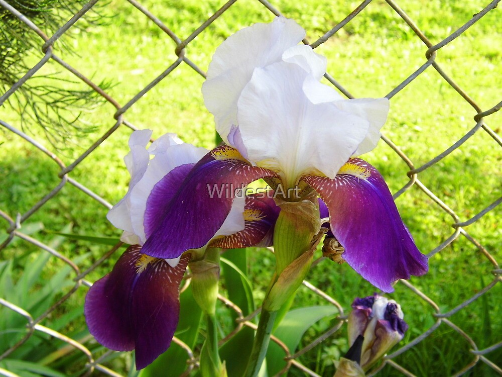 Iris By the Fence by WildestArt