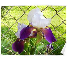 Iris By the Fence Poster