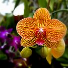 Orange Orchid by Laurie Perry