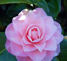 An Easter Blossom - Pink Camelia by kathrynsgallery