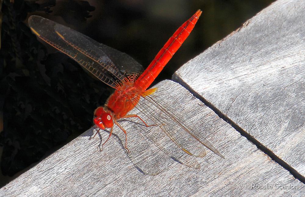 Red Dragon Fly by Rosalie Scanlon