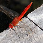 Red Dragon Fly by Rosalie Scanlon