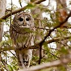 "Barred Owl - ""Pleased to Meet Whoo"" by Benjamin Brauer"