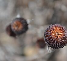 dried flower head by Tamgail