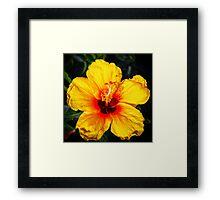 Hawaiian State Flower - Pua Aloalo, Hibiscus brackenridgei. Framed Print