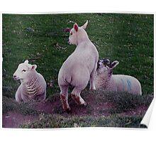 South Devon Three Lambs Playing Poster
