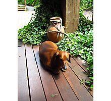 Tired sausage dog Photographic Print